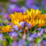 Frühlingserwachen Krokus